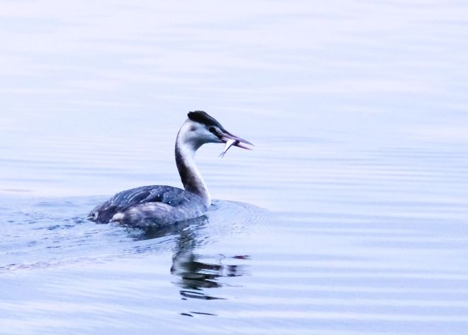Great Crested Grebe fedding 2