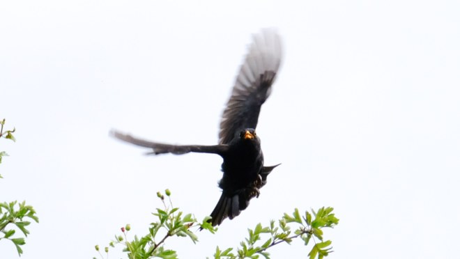 Blackbird flight cropped 2020-07-05 12.03.47