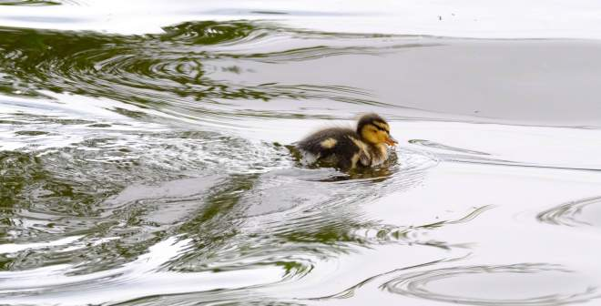 Hig speed duckling 2020-07-15 17.13.20